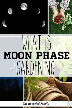 Ever heard of planting by the moon phases or moon phase gardening? What is it, and how does it work. Everything you need to know about gardening by the moon cycles. Planting Vegetables, Growing Vegetables, Vegetable Gardening, Veg Garden, Permaculture Garden, Veggie Gardens, Growing Tomatoes, Gardening For Beginners, Gardening Tips