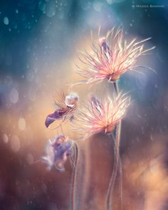 Pasque Flower Abstract by Magda Bognar - Photo 110245333 / 500px