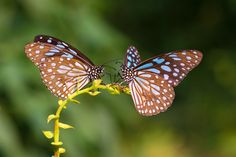 Two Blue Tiger drinking on plant by Earnest Tse on 500px