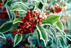 Farbenfrohe Beeren im Winter