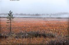 Vastavalo.fi Syksy suolla - Lappi syksy syyskuu ruska suo avosuo usva aukea maisema