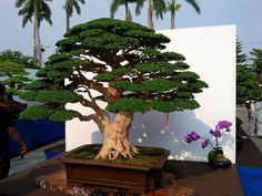 Bonsai - This is absolutely breath taking