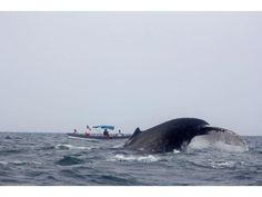 Avistamiento de ballenas jorobadas cerca de isla Contadora, muy cerca de Ciudad Panamá. /Esther M. Arjona   La Estrella de Panamá