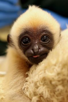 Baby.  Gibbons are unusual because unlike 94 percent of all other primate species, they are monogamous, living in small families composed of a mated pair and up to four offspring. Gibbons are physically independent at about three, mature at about six, and usually leave the family group at about eight years of age.