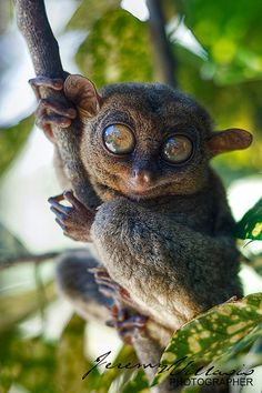 ~~Philippine Idol ~ Tarsier by jeremyvillasis~~