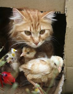 **Nimra, a one-year-old cat, plays with chicks in Amman May 13, 2007. Nimra has been taking care of seven chicks after their mother's death a month ago.    Source: Reuters