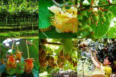 Small Business Ideas | List Of Small Business Ideas: Kiwi Fruit Farming Business | How to Grow Kiwifruit | Growing Kiwi Fruit to Earn Money