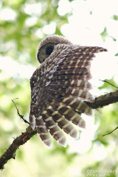 barred-owl-juvenile-nine-am-mid-june-2016