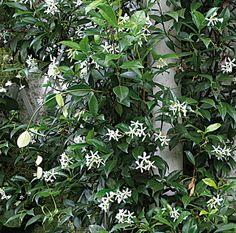 Bouturage du jasmin, lilas des Indes, oranger du Mexique et pittosporum - Bouturer le jasmin