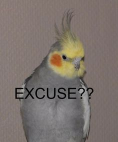 New Cockatiel Memes Memes Funny Birds, Cute Birds, Cute Funny Animals, Funny Animal Pictures, Cute Baby Animals, Memes Lol, Cute Memes, Stupid Memes, Bird Meme