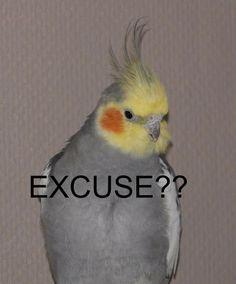 New Cockatiel Memes Memes Funny Birds, Cute Birds, Cute Funny Animals, Funny Animal Pictures, Cute Baby Animals, Memes Lol, Cute Memes, Stupid Memes, Bird Meme