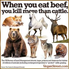 Eat beef = kill other animals