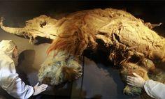 Cada vez más cerca del mamut lanudo: Científicos logran insertar su ADN en células de elefante | La Tercera