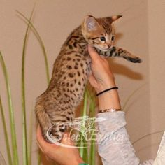 F2 Savannah Kittens For Sale - Select Exotics