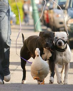 Walking the dogs, er dogs and duck. And people think pit bulls are dangerous. Please.