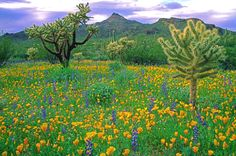 Mexican gold poppies & lupines, Organ Pipe Cactus National Monument, AZ. Place to remember!