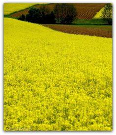 Żółto rzepakowo
