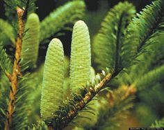 100 Most Threatened Species Scientific Name: Abies beshanzuensis  Common Name: Baishan Fir  Category: Conifer  Population: 5 mature individuals  Threats To Survival: Agricultural expansion and fire