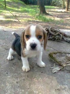 Are you interested in a Beagle? Well, the Beagle is one of the few popular dogs that will adapt much faster to any home. Whether you have a large family, p Cute Beagles, Cute Puppies, Dogs And Puppies, Positive Dog Training, Basic Dog Training, Training Dogs, Rescue Dogs, Pet Dogs, Doggies