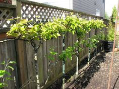 Smaller spaces? No problem- just plant them closer together! You won't believe just how good fresh home grown fruit can be until you take a big bite and have the juices dripping down your chin as y...