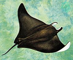 Drawing of manta ray from a top view