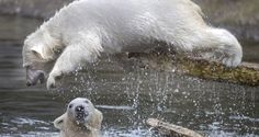 Siku and Sesi enjoy a swim at the tundra exhibit at the Ouwehand Zoo in Rhenen, Netherlands. Polar Bear Party, Polar Bears International, Ink Pen Drawings, Puppy Play, Cute Animals, Panda Bears, Puppies, Exhibit, Elephants