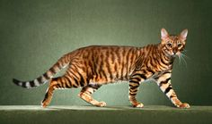 The medium-size Toyger was created by crossing a Bengal cat with a striped domestic shorthair. He is all domestic cat, with no wild blood, but he was developed to have branching stripes and orange and black or brown coloration reminiscent of a tiger's pattern.