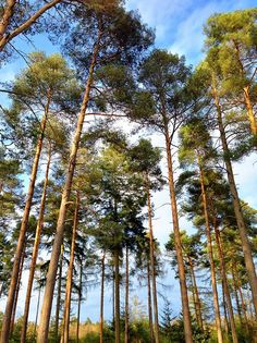 Spring trees in the forest at Burghfield Common