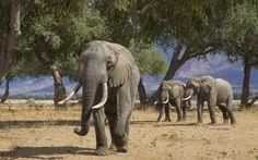 Three African Elephant bulls (Loxodonta africana) in the Zambezi valley feeding on Ana Tree pods (Faidherbia albida) Fashion Magazin, River Lodge, Private Games, Victoria Falls, Game Reserve, African Elephant, Mammals, South Africa, Stock Photos