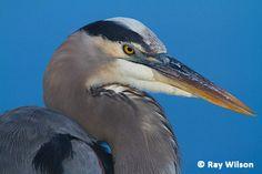 Everglades National Park Animals   Great Blue Heron ( Ardea herodias )