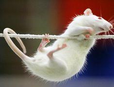 Накшатра Крыса: индийский гороскоп для знака Крыс и его характеристика