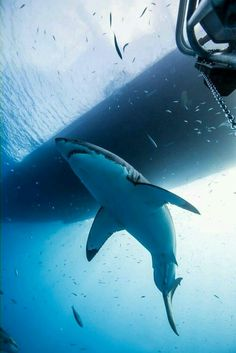 Shark Pictures, Shark Photos, Orcas, Save The Sharks, Shark Art, Water Animals, Great White Shark, Ocean Creatures, Shark Week