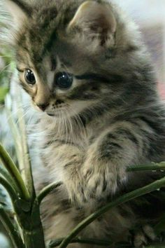 Best Images gray Bengal Cats Suggestions First, when it concerns just what exactly is actually a Bengal cat. Bengal cats and kittens absolutely are a p. Grey Tabby Kittens, Cute Cats And Kittens, Baby Cats, Kittens Cutest, Bengal Cats, Ragdoll Kittens, Funny Kittens, White Kittens, Dog Cat