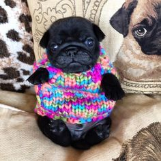 pug in a rug. Oh No! Look at him in his tiny little sweater. Pugs always make me laugh.