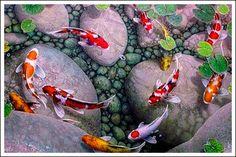 японские рыбки кои - Поиск в Google