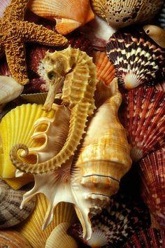 Sea Shells Seanails Seahorse Starfish