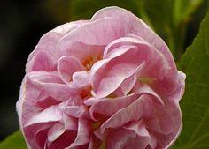 Abutilon x hybridum 'Pink Swirls'
