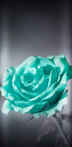 Turquoise Rose wallpaper by NikkiFrohloff - ca - Free on ZEDGE™ New Flower Wallpaper, Beautiful Flowers Wallpapers, Pretty Wallpapers, Free Hd Wallpapers, Phone Screen Wallpaper, Mobile Wallpaper, Cute Wallpaper Backgrounds, Wallpaper Downloads, Turquoise Rose