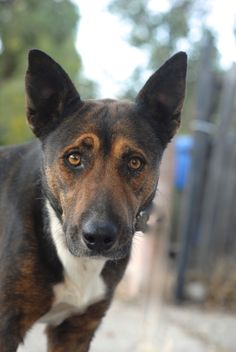 Smart,loyal, shy, elegant are just a few words to describe Miss Joni Mitchell.Just rescued she needs a little time to come out of her shell.  She is a delicate and sensitive soul.  She is about a year old.