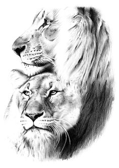 Pencil drawing of Lions. Hand-drawn pencil drawing of two Lions heads with an ivory black drawing pencil. Print is a copy of the original drawing. The lion is a species in the family Felidae and is a muscular, deep-chested cat with a short, rounded head, a reduced neck and round ears, and a hairy tuft at the end of its tail. Male lions have a prominent mane, which is the most recognisable feature of the species.