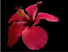 Hibiscus on Canvas Canvas Website, Photo Blocks, Painting Flowers, Hibiscus, Paintings, Digital, Plants, Black, Paint
