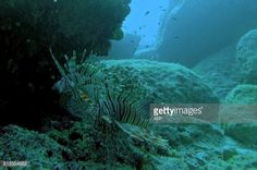 Lion fish swim under the rocks off the eastern coastal Cypriot... #protaras: Lion fish swim under the rocks off the eastern… #protaras