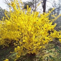 Bright yellow flowers really stand out in early spring. One of the first plants to bloom. Forsythia This is in the back