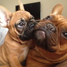"""""""listen, see......I'm gonna be the Boss around here, see!  baby French Bulldog bossing around his Elders."""