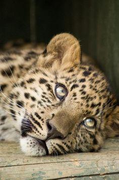 Wild cat.  That face!
