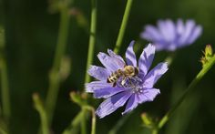Bee on a Chicory flower wallpaper