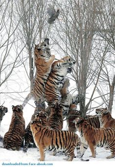 "Büyük kediler""Endangered Siberian tigers try to reach for a wild bird that was tossed in by the game ranger and flew out of their reach at the Harbin Tiger Park in Harbin, China."" Photo by Ng Han Guan - AP. (Photo in the slide show. Animals And Pets, Baby Animals, Funny Animals, Cute Animals, Wild Animals, Nature Animals, I Love Cats, Big Cats, Cats And Kittens"