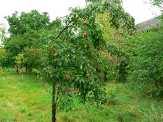 Der Garten im August. Neben der Birnenernte gibt es noch jede Menge zu tun im Garten. http://www.experto.de/b2c/hobby-freizeit/haus-garten/garten/der-garten-im-august-das-muessen-sie-jetzt-erledigen.html