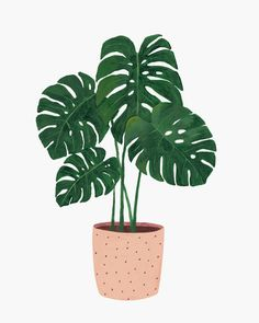 Hermano Gato - Monstera: