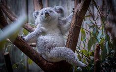 Lataa kuva koala, oksat, karhut, eläintarha, söpöjä eläimiä